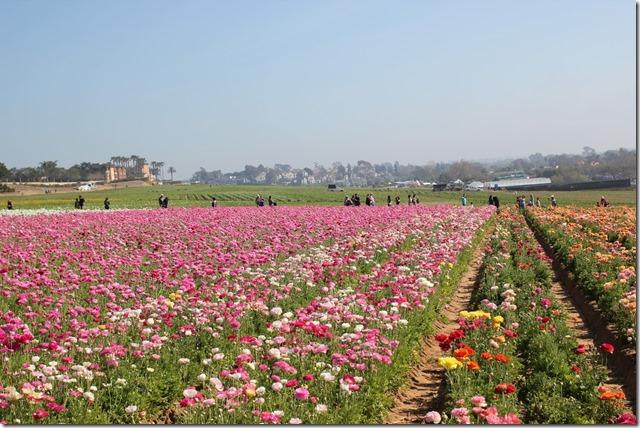 Carlsbad Flower Fields (11)