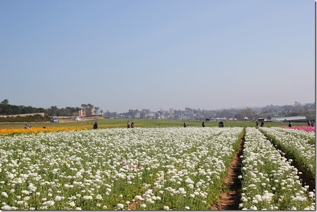 Carlsbad Flower Fields (13)
