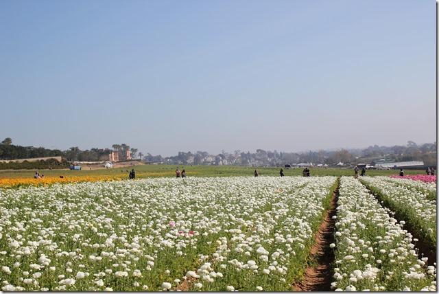 Carlsbad Flower Fields (13)