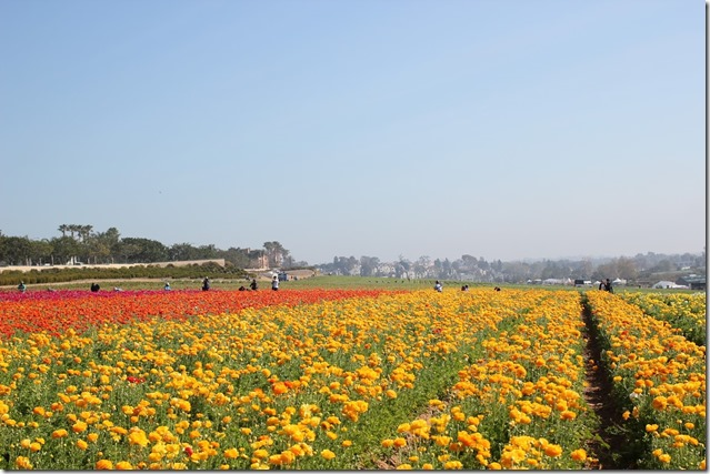Carlsbad Flower Fields (14)