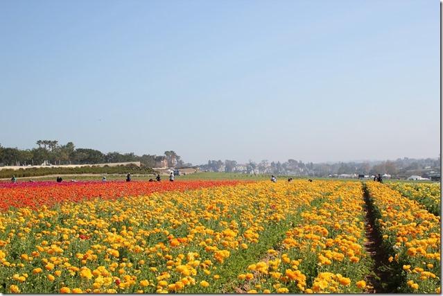 Carlsbad Flower Fields (14)