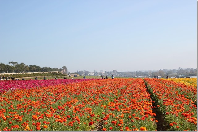 Carlsbad Flower Fields (15)