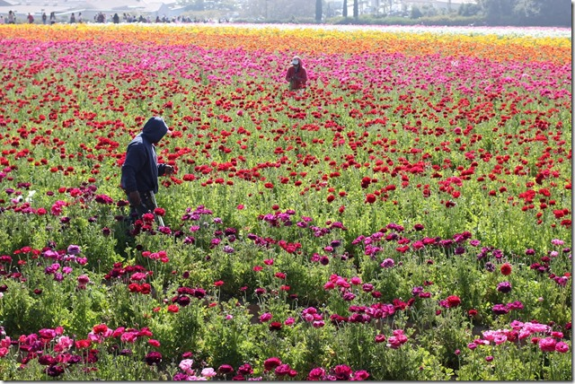 Carlsbad Flower Fields (16)
