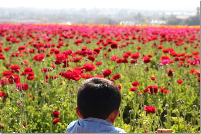 Carlsbad Flower Fields (17)