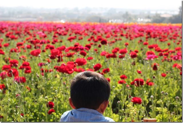 Carlsbad Flower Fields (17)