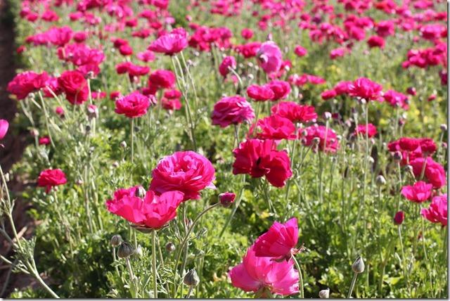 Carlsbad Flower Fields (18)