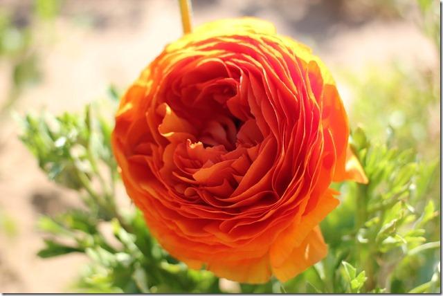 Carlsbad Flower Fields (21)