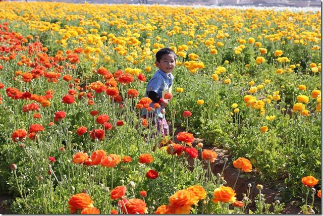 Carlsbad Flower Fields (22)