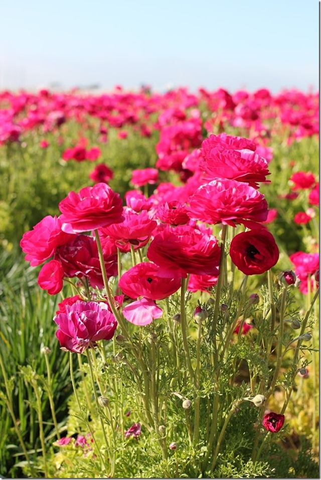Carlsbad Flower Fields (23)