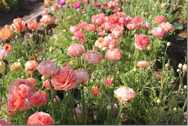 Carlsbad Flower Fields (25)