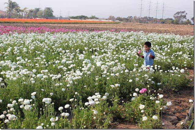 Carlsbad Flower Fields (30)