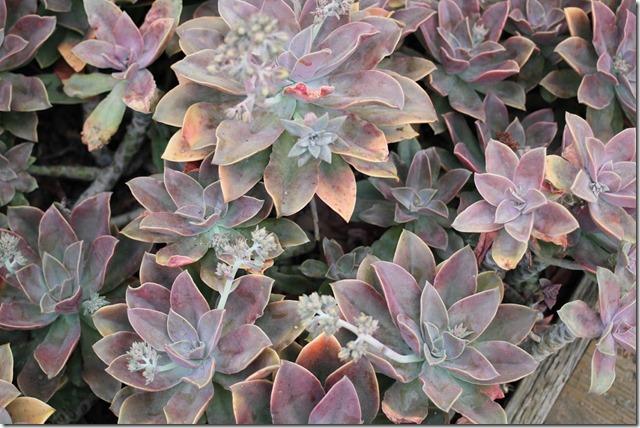 Carlsbad Flower Fields (45)