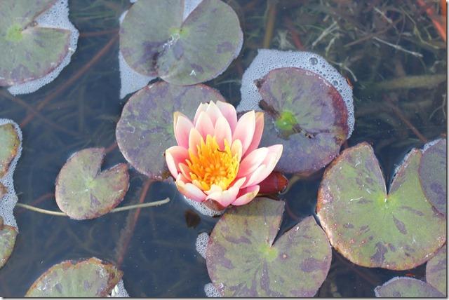 Carlsbad Flower Fields (8)